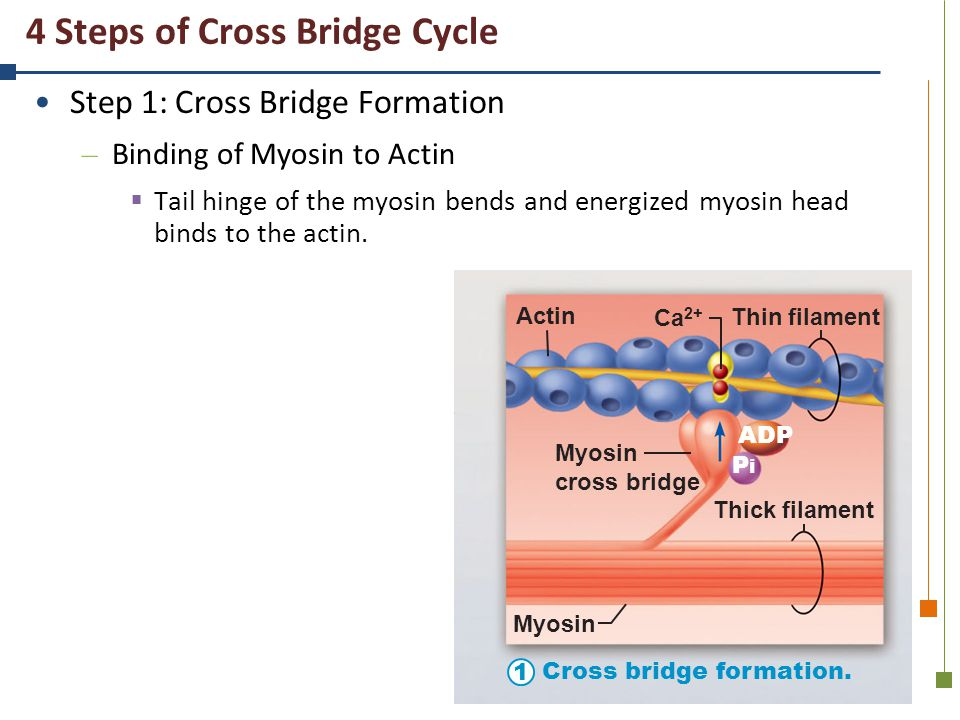 4 Steps of Cross Bridge Cycle