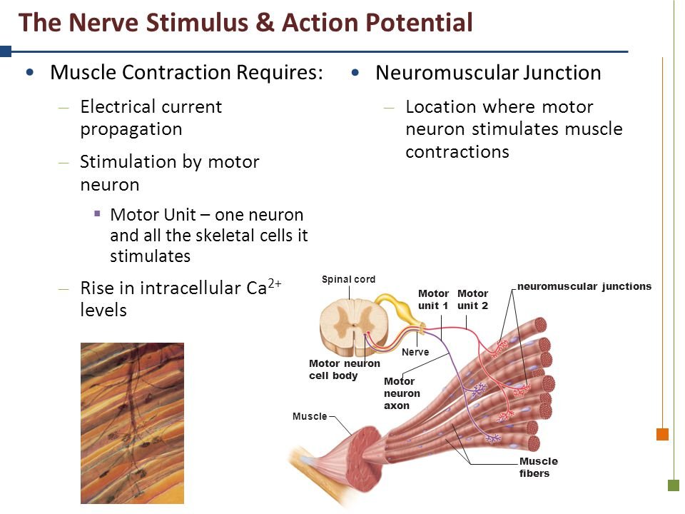 The Nerve Stimulus & Action Potential