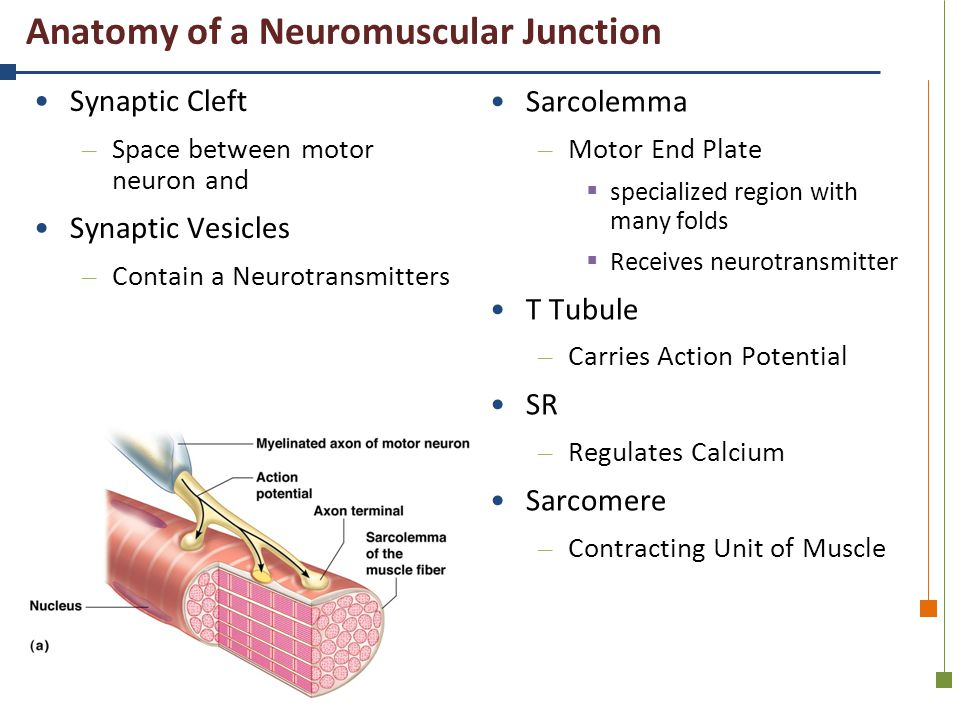 Anatomy of a Neuromuscular Junction