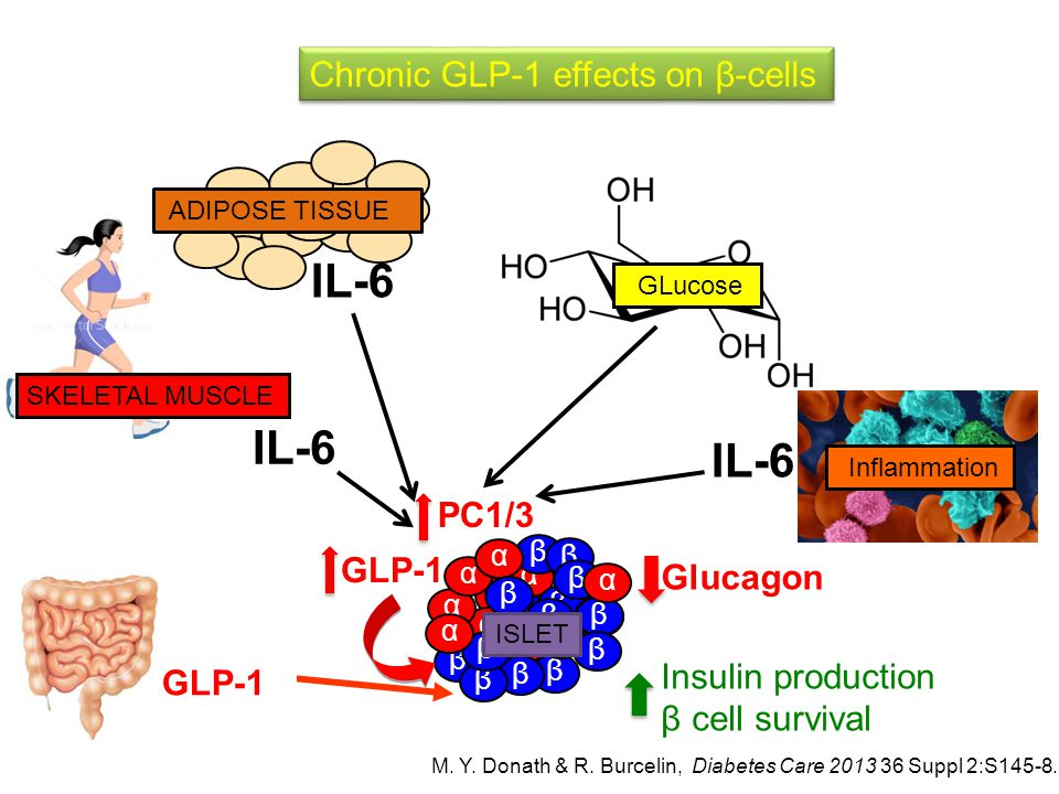 IL-6 IL-6 IL-6 Chronic GLP-1 effects on β-cells PC1/3 GLP-1 Glucagon