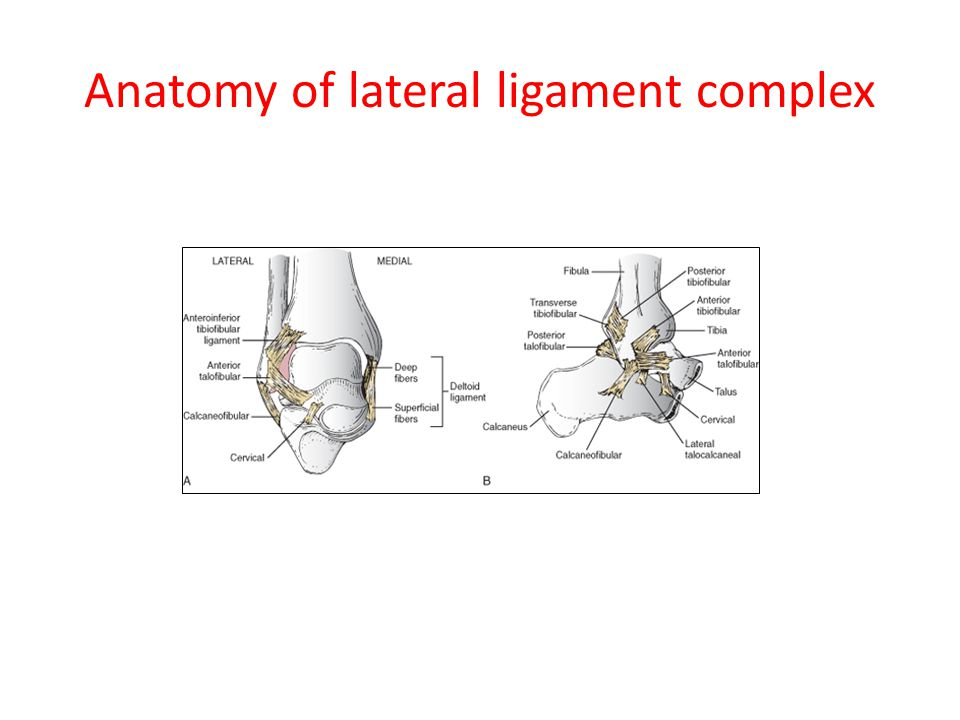 Anatomy of lateral ligament complex