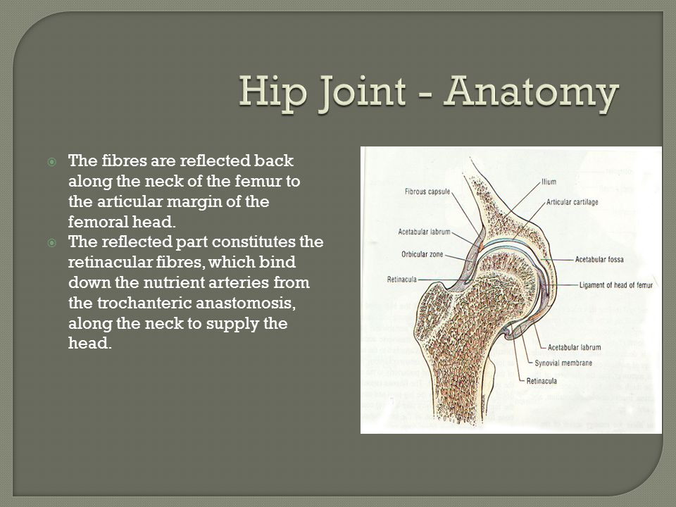 Hip Joint - Anatomy The fibres are reflected back along the neck of the femur to the articular margin of the femoral head.