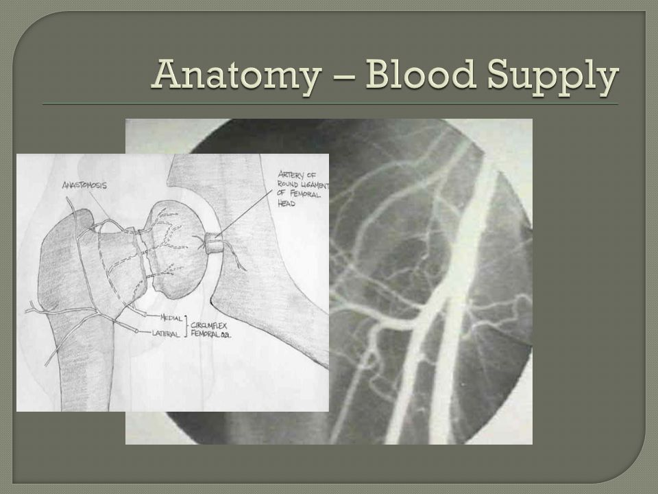 Anatomy – Blood Supply