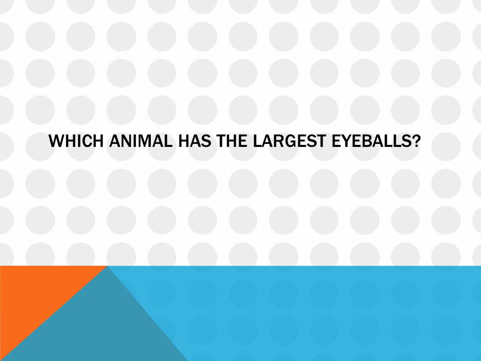 Which animal has the largest eyeballs