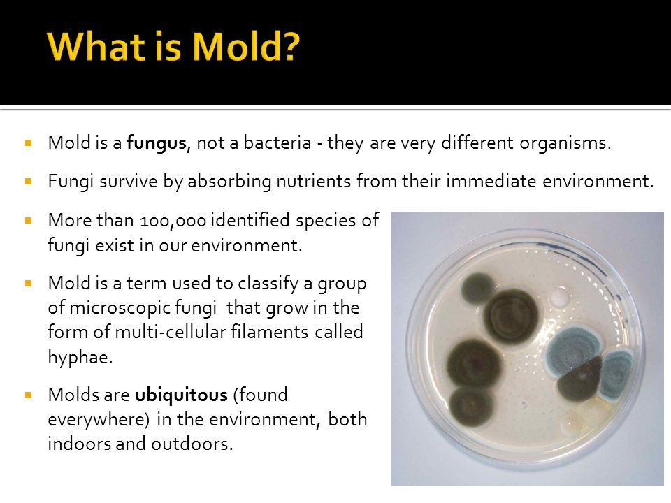 What is Mold Mold is a fungus, not a bacteria - they are very different organisms.