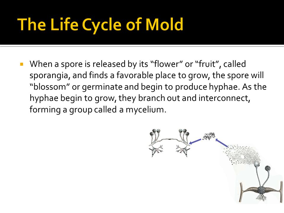 The Life Cycle of Mold