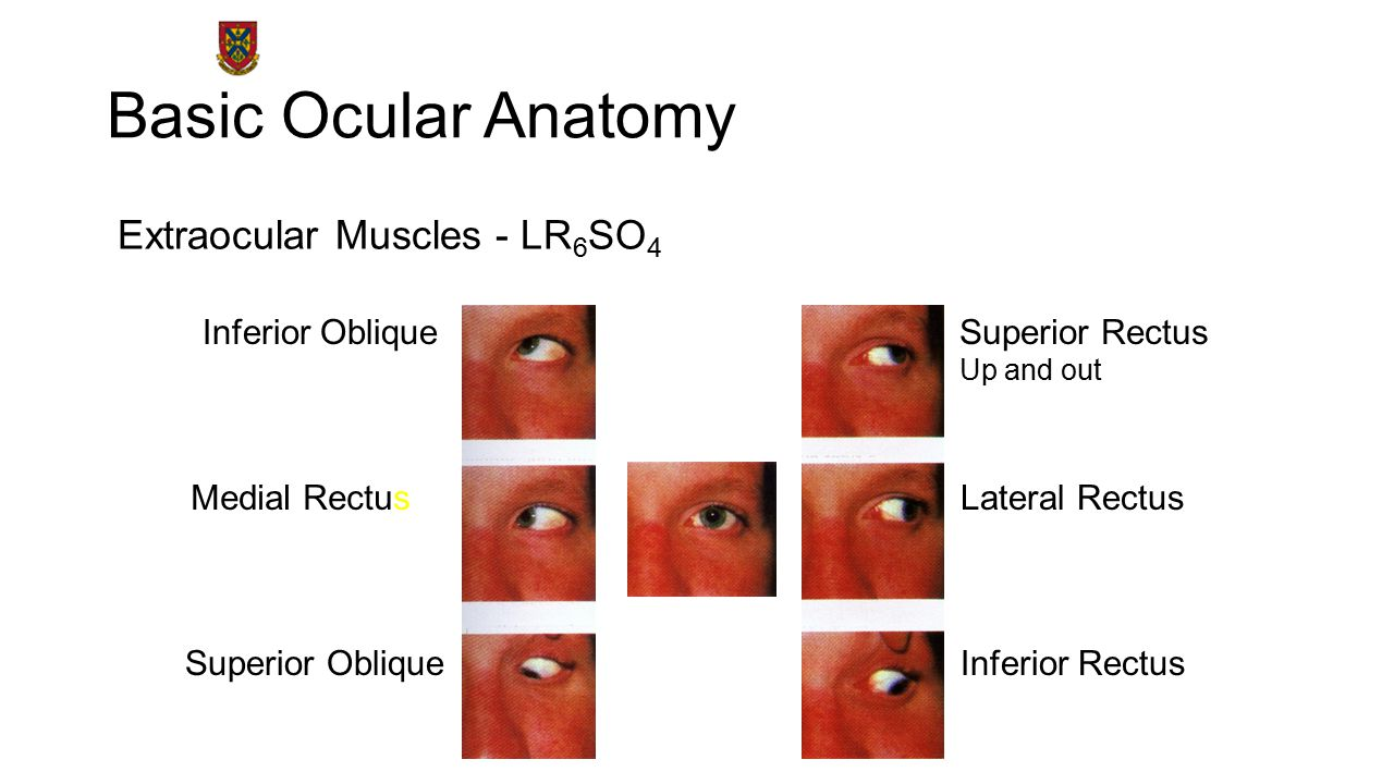 Basic Ocular Anatomy Extraocular Muscles - LR6SO4 Inferior Oblique