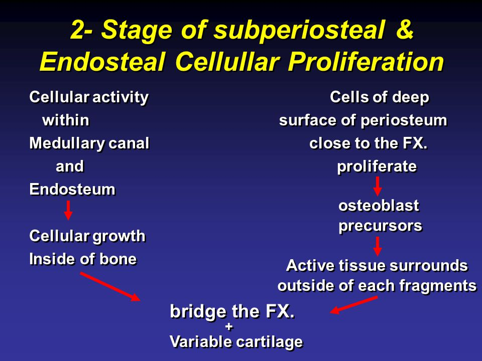 2- Stage of subperiosteal & Endosteal Cellullar Proliferation