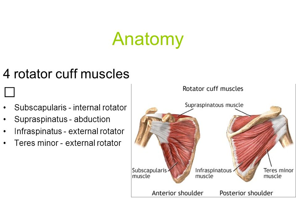 Anatomy 4 rotator cuff muscles  Subscapularis - internal rotator