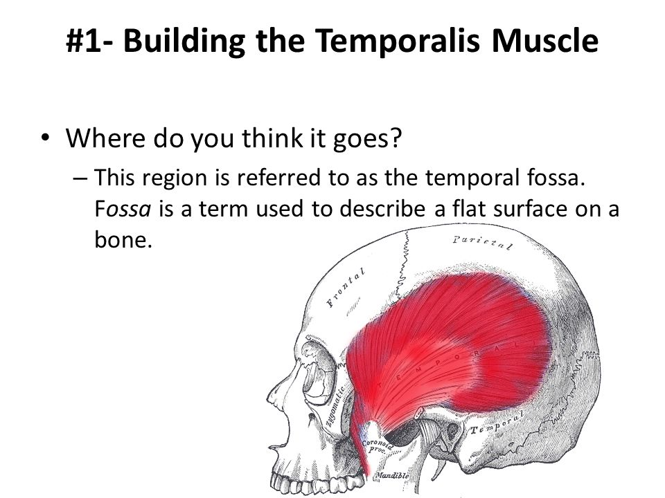#1- Building the Temporalis Muscle