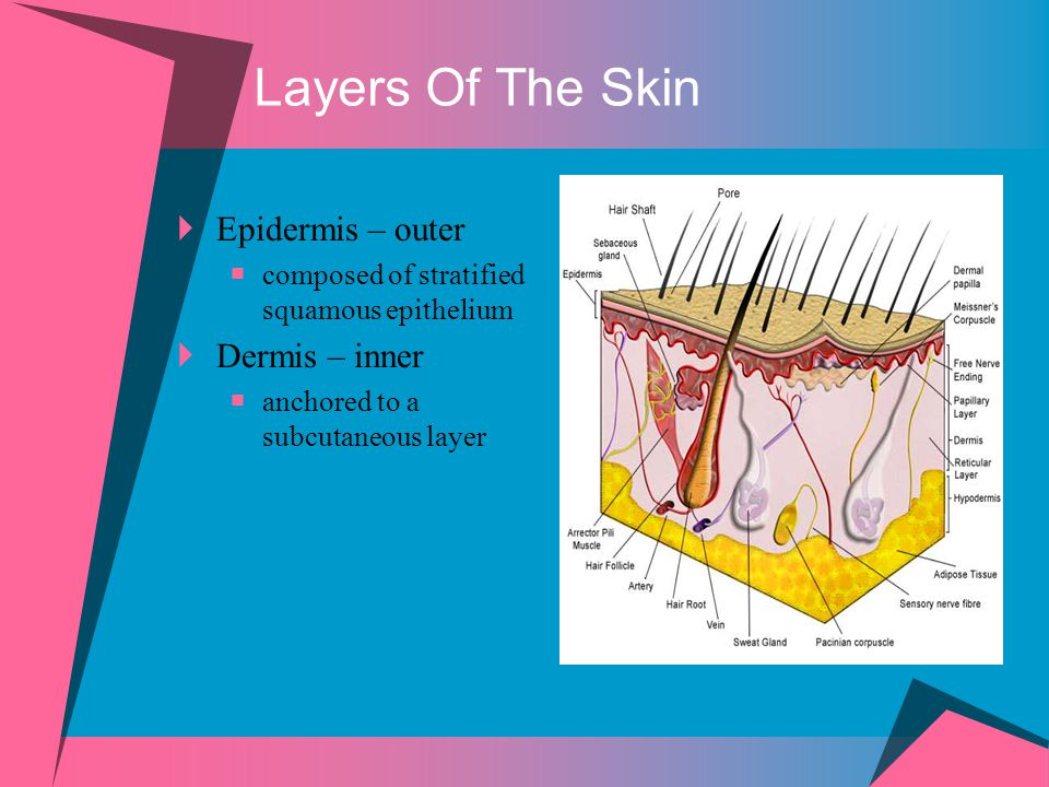 Layers Of The Skin Epidermis – outer Dermis – inner