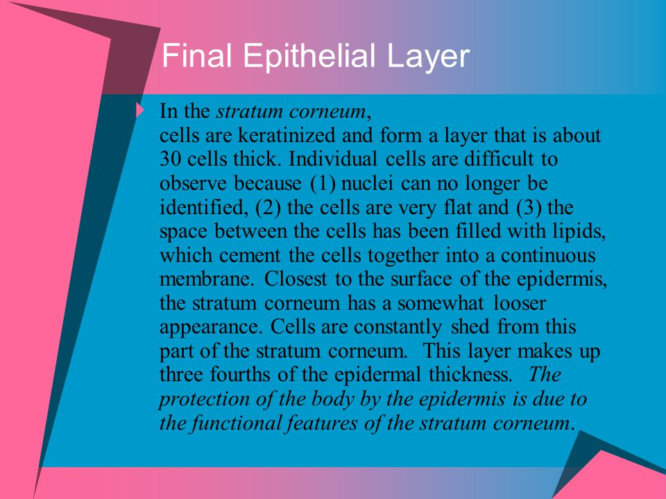 Final Epithelial Layer