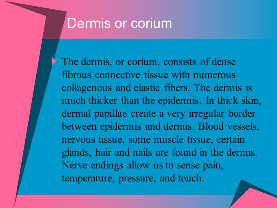 Dermis or corium