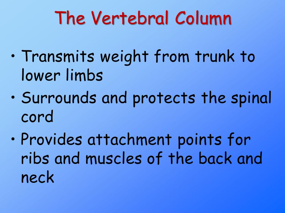 The Vertebral Column Transmits weight from trunk to lower limbs