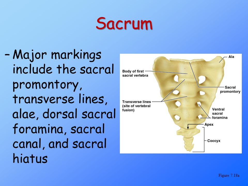 Sacrum Major markings include the sacral promontory, transverse lines, alae, dorsal sacral foramina, sacral canal, and sacral hiatus.