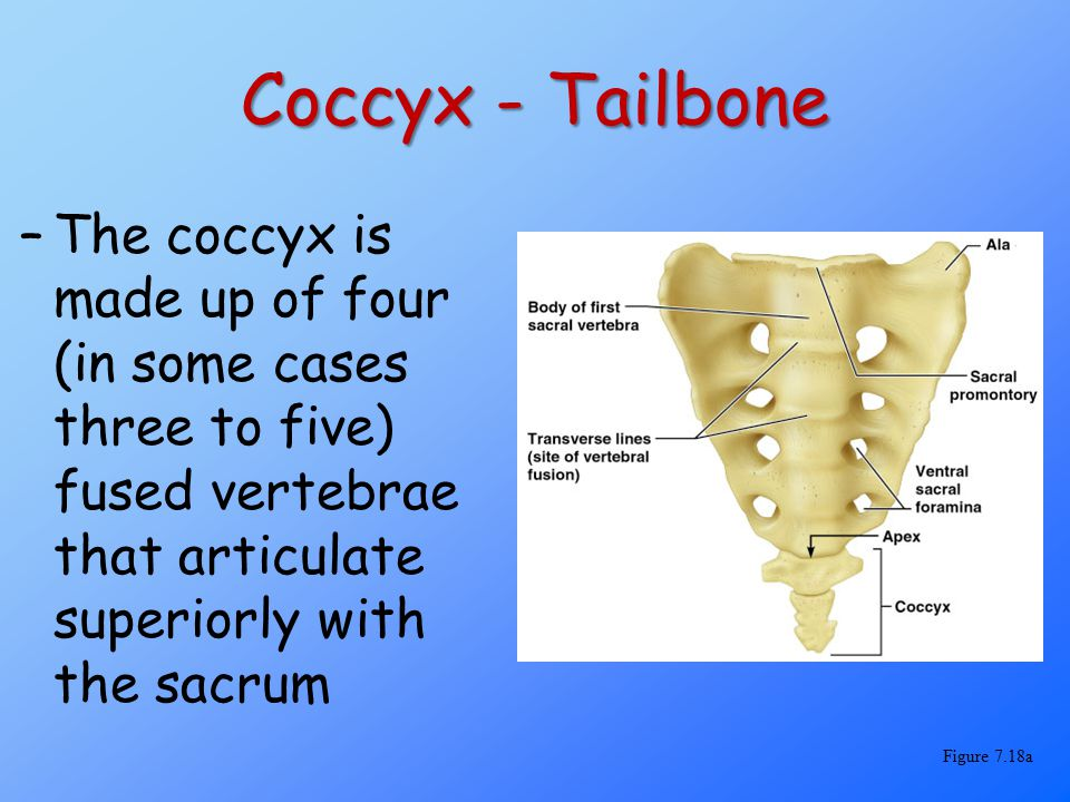 Coccyx - Tailbone The coccyx is made up of four (in some cases three to five) fused vertebrae that articulate superiorly with the sacrum.