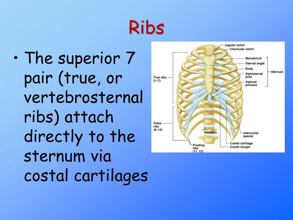 Ribs The superior 7 pair (true, or vertebrosternal ribs) attach directly to the sternum via costal cartilages.