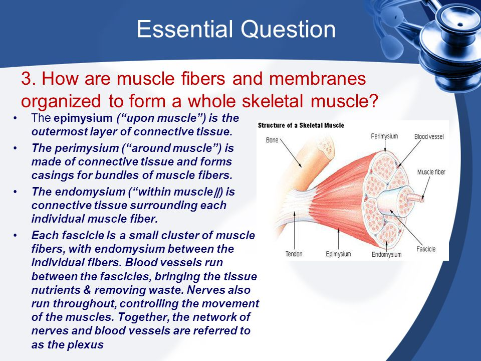 Essential Question 3. How are muscle fibers and membranes organized to form a whole skeletal muscle