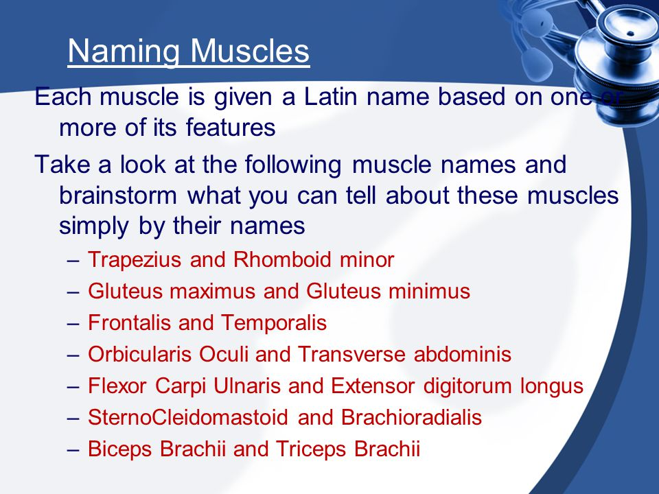 Naming Muscles Each muscle is given a Latin name based on one or more of its features.