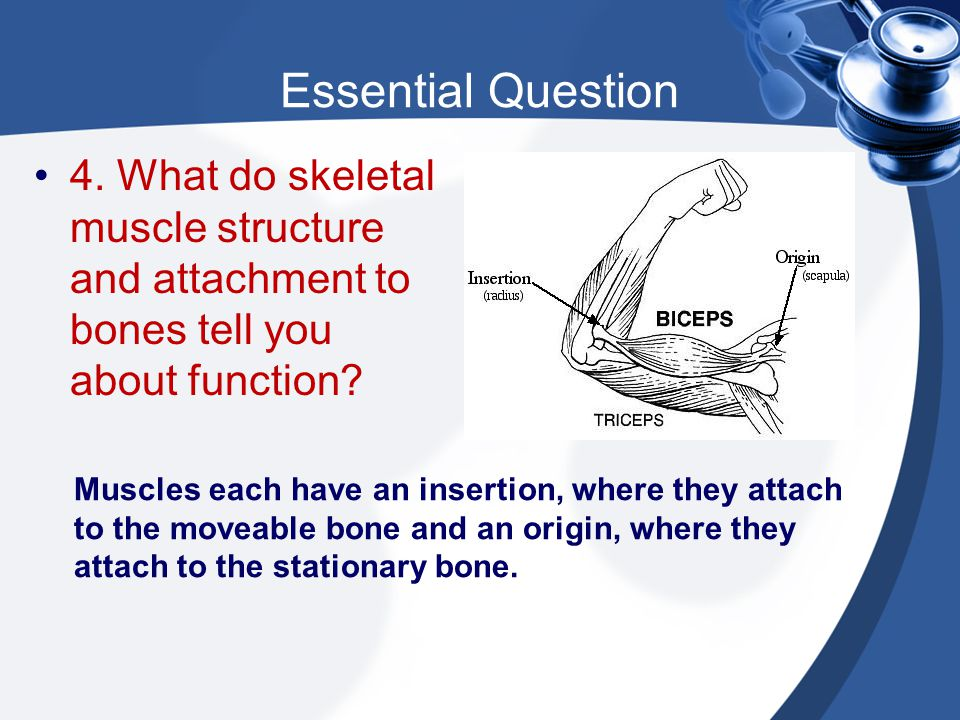 Essential Question 4. What do skeletal muscle structure and attachment to bones tell you about function