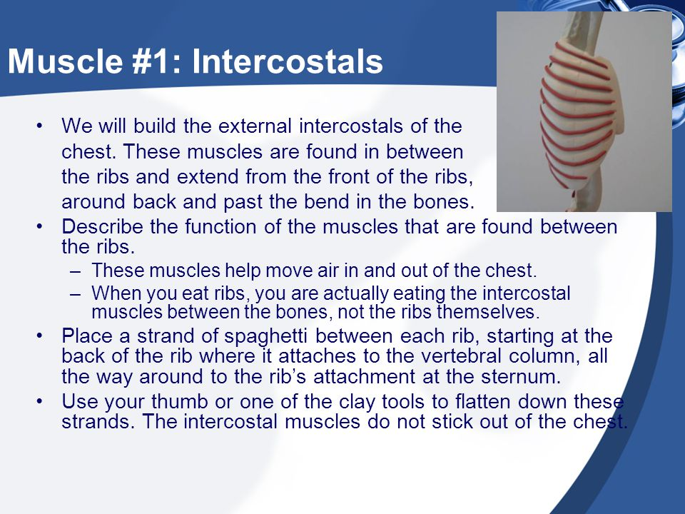Muscle #1: Intercostals