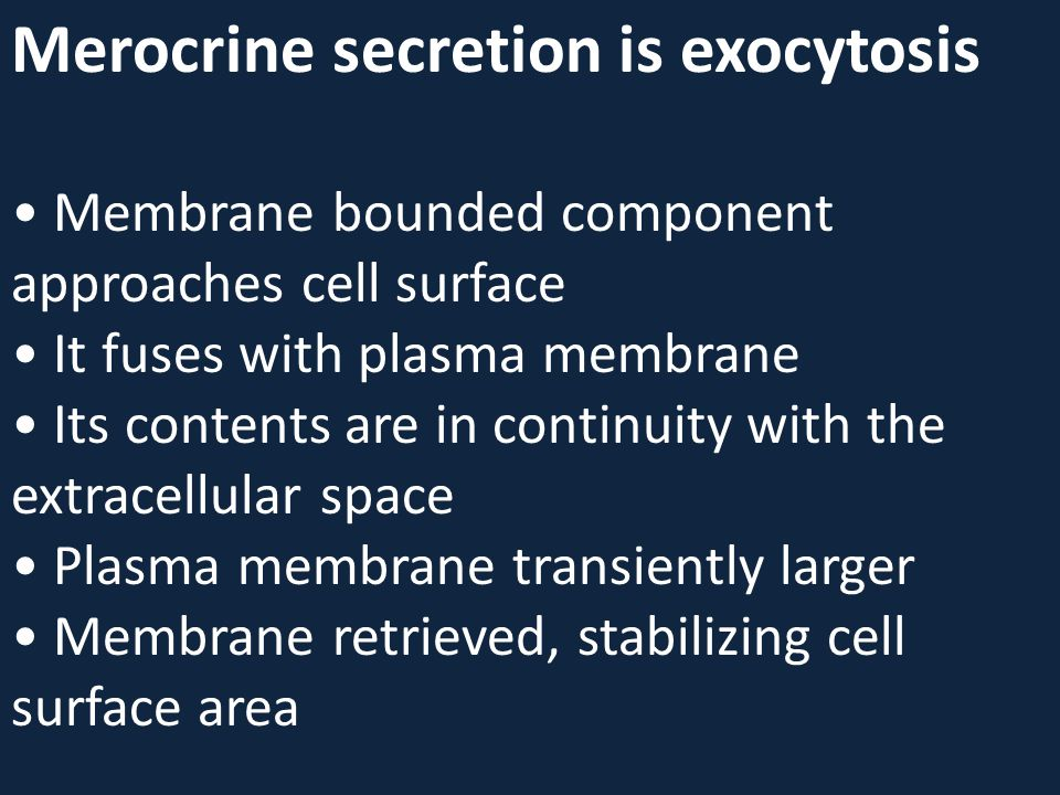 Merocrine secretion is exocytosis • Membrane bounded component approaches cell surface • It fuses with plasma membrane • Its contents are in continuity with the extracellular space • Plasma membrane transiently larger • Membrane retrieved, stabilizing cell surface area
