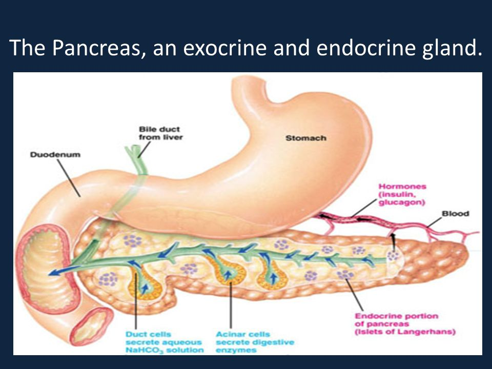 The Pancreas, an exocrine and endocrine gland.