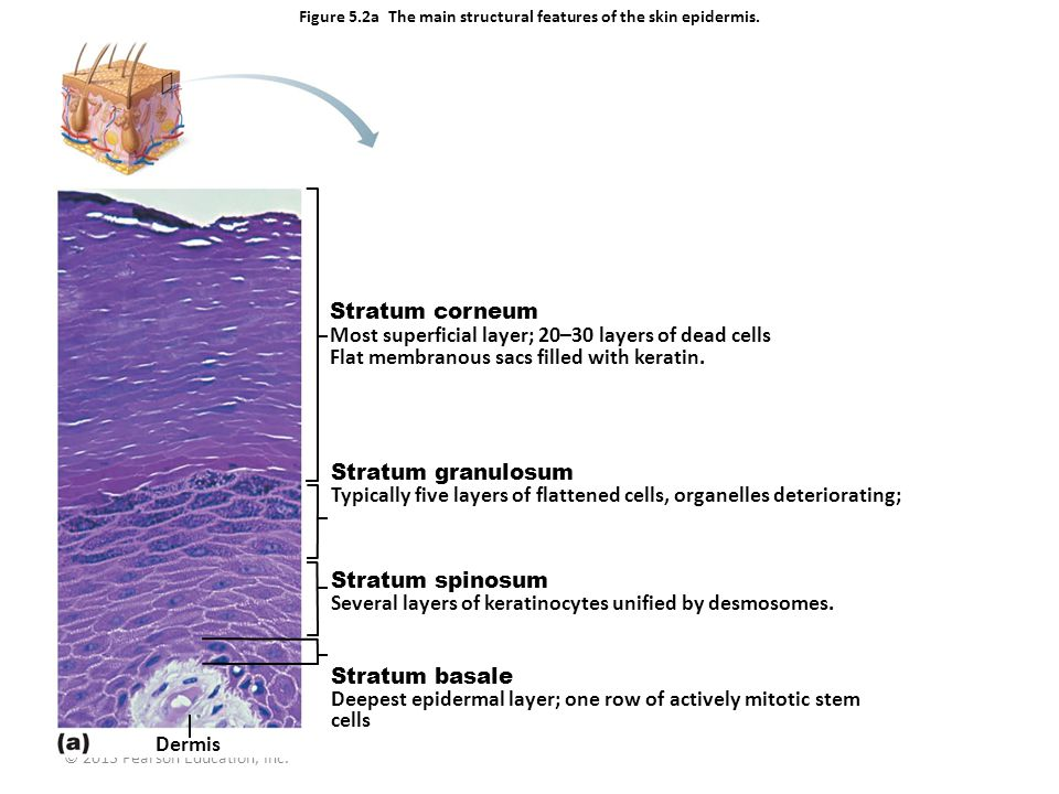 Figure 5.2a The main structural features of the skin epidermis.