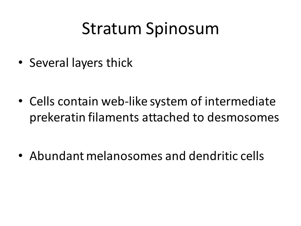 Stratum Spinosum Several layers thick