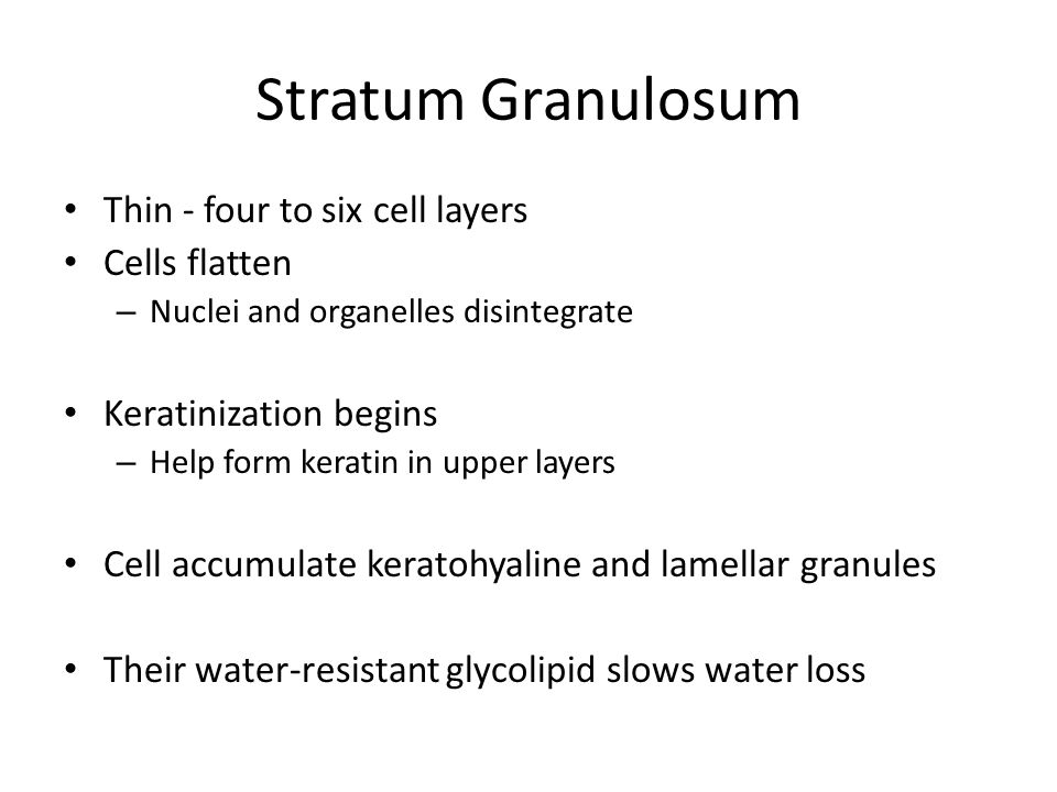 Stratum Granulosum Thin - four to six cell layers Cells flatten