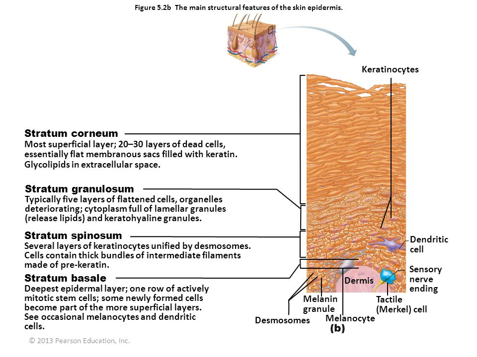 Figure 5.2b The main structural features of the skin epidermis.