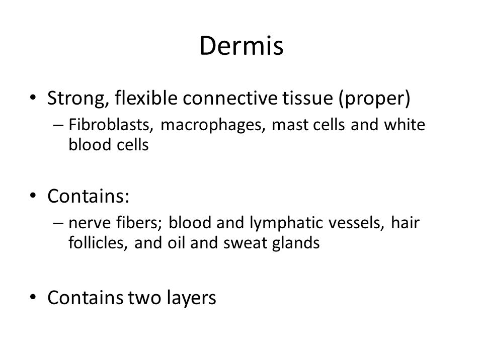 Dermis Strong, flexible connective tissue (proper) Contains:
