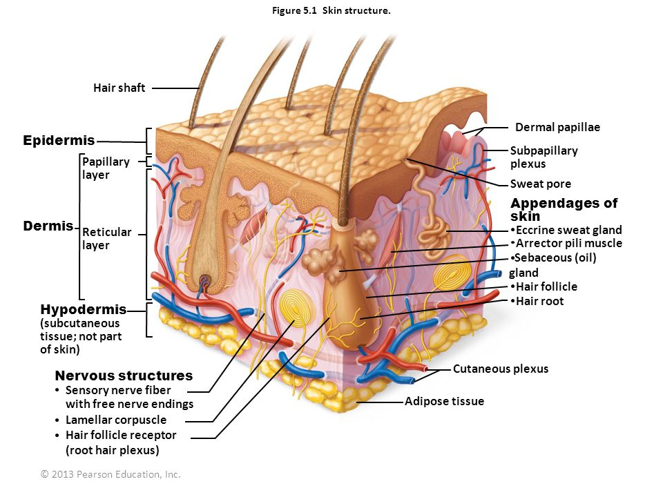 Hair shaft Dermal papillae