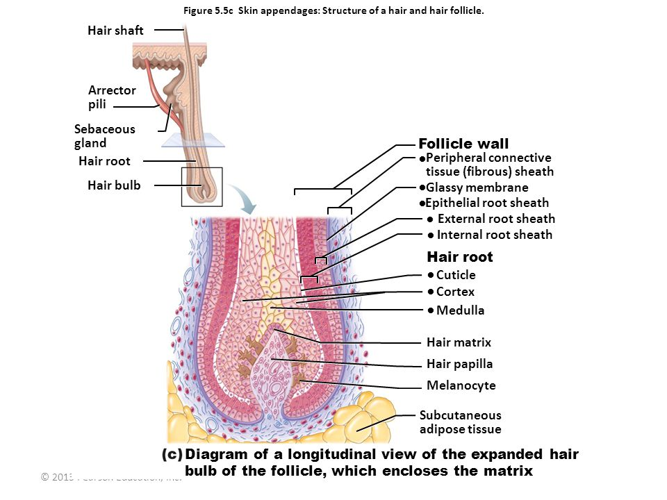 Figure 5.5c Skin appendages: Structure of a hair and hair follicle.