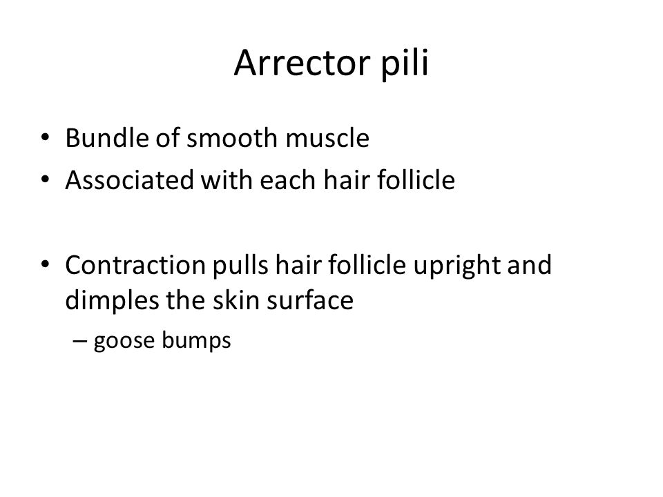 Arrector pili Bundle of smooth muscle