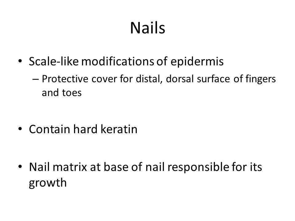 Nails Scale-like modifications of epidermis Contain hard keratin