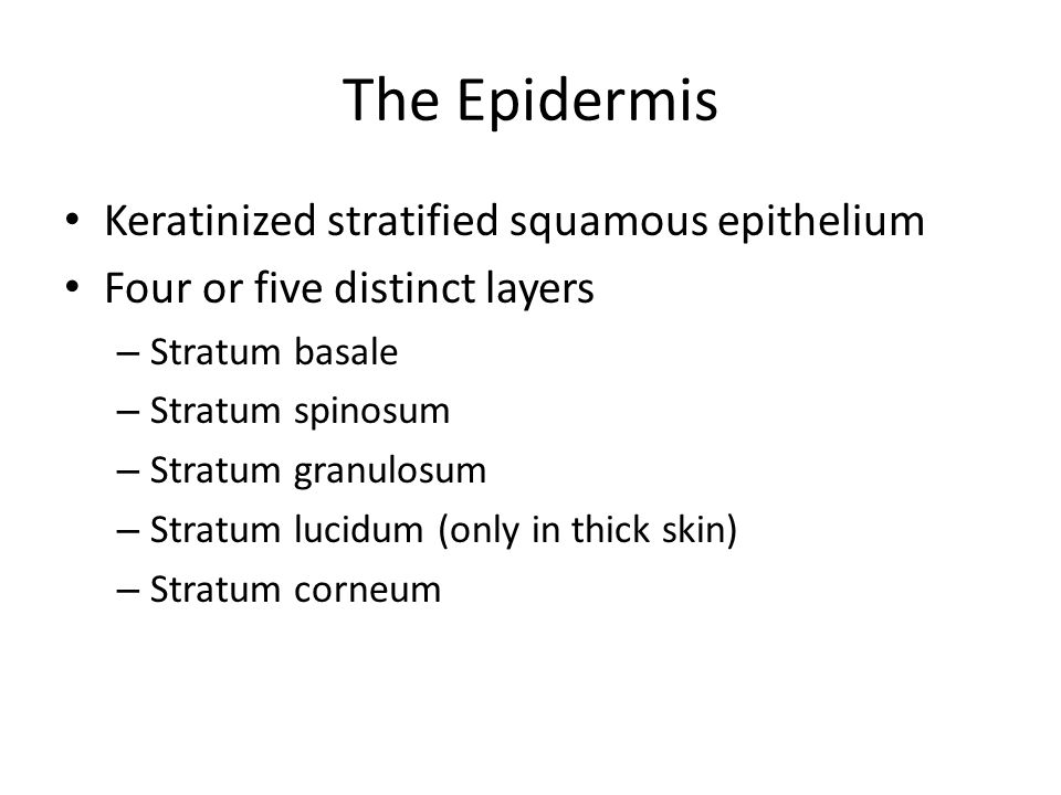 The Epidermis Keratinized stratified squamous epithelium