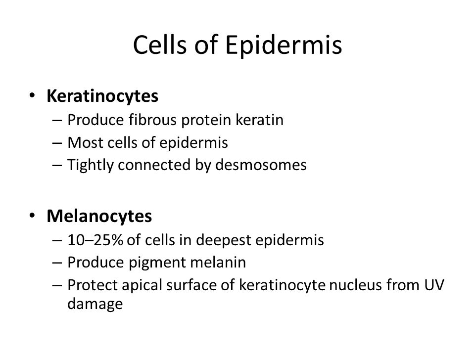 Cells of Epidermis Keratinocytes Melanocytes