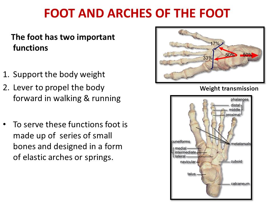 FOOT AND ARCHES OF THE FOOT