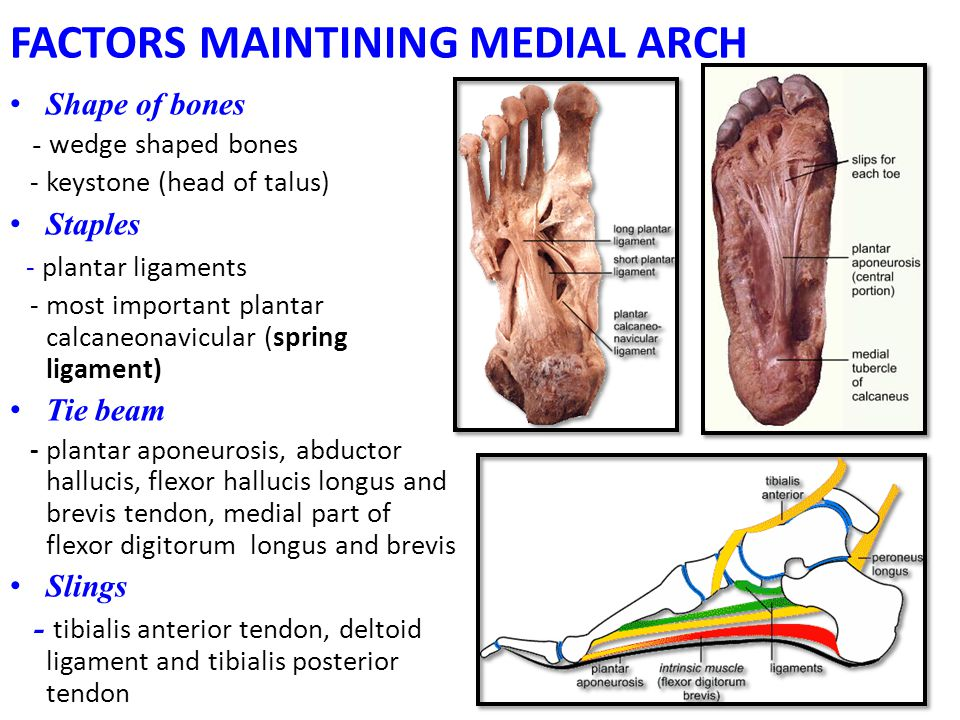 FACTORS MAINTINING MEDIAL ARCH