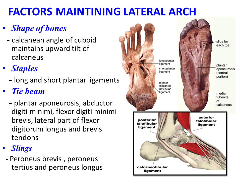 FACTORS MAINTINING LATERAL ARCH