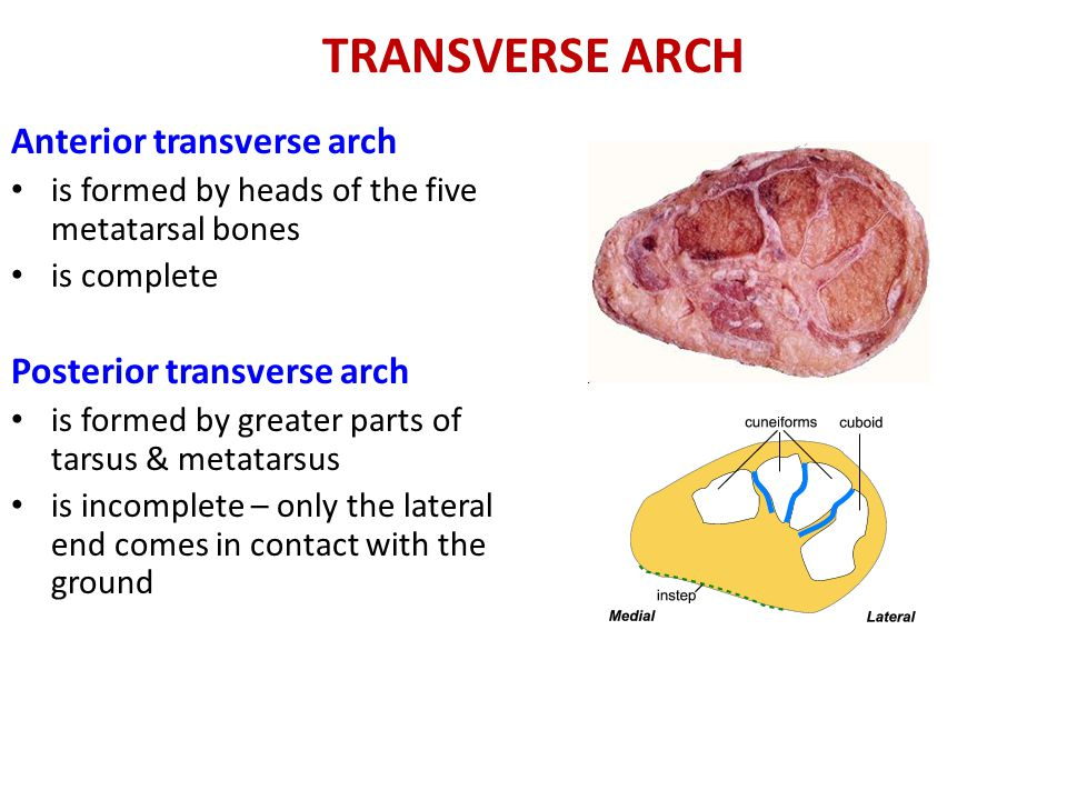 TRANSVERSE ARCH Anterior transverse arch Posterior transverse arch
