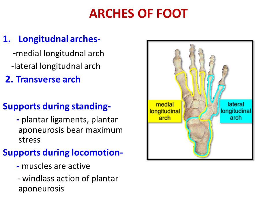 ARCHES OF FOOT -medial longitudnal arch 2. Transverse arch