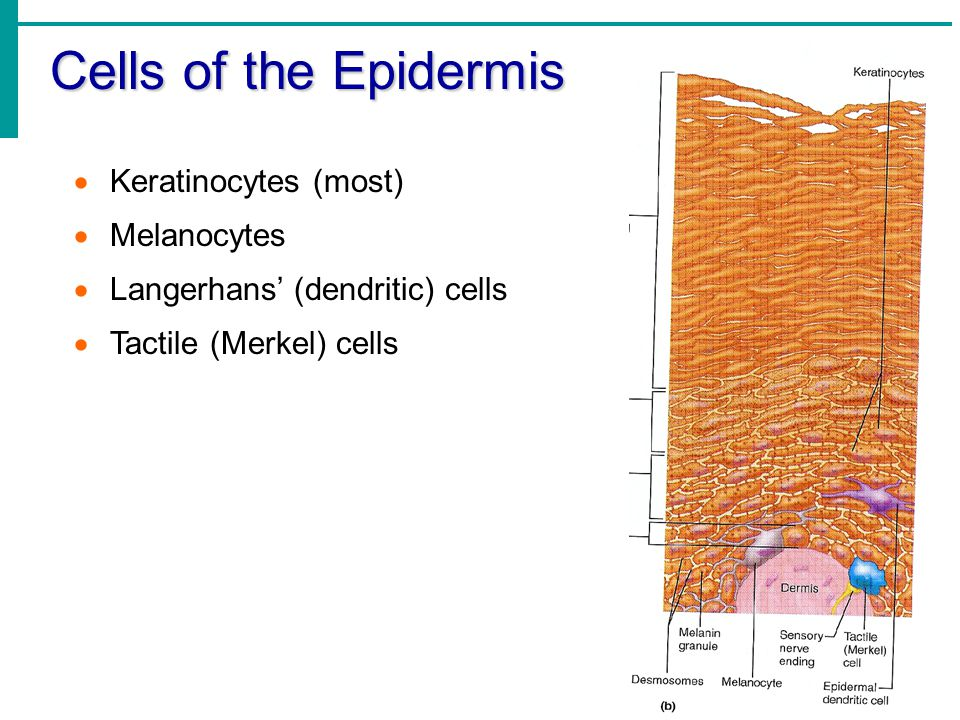 Cells of the Epidermis Keratinocytes (most) Melanocytes