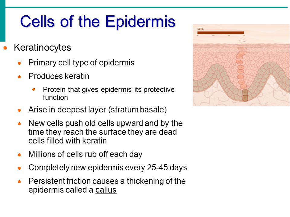 Cells of the Epidermis Keratinocytes Primary cell type of epidermis