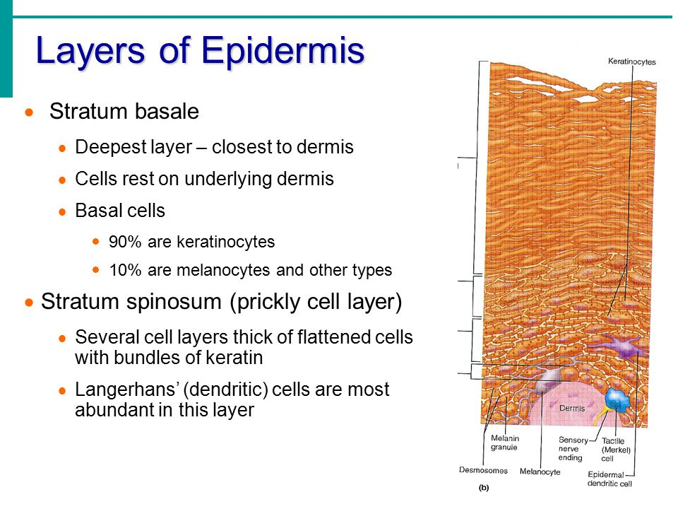 Layers of Epidermis Stratum basale