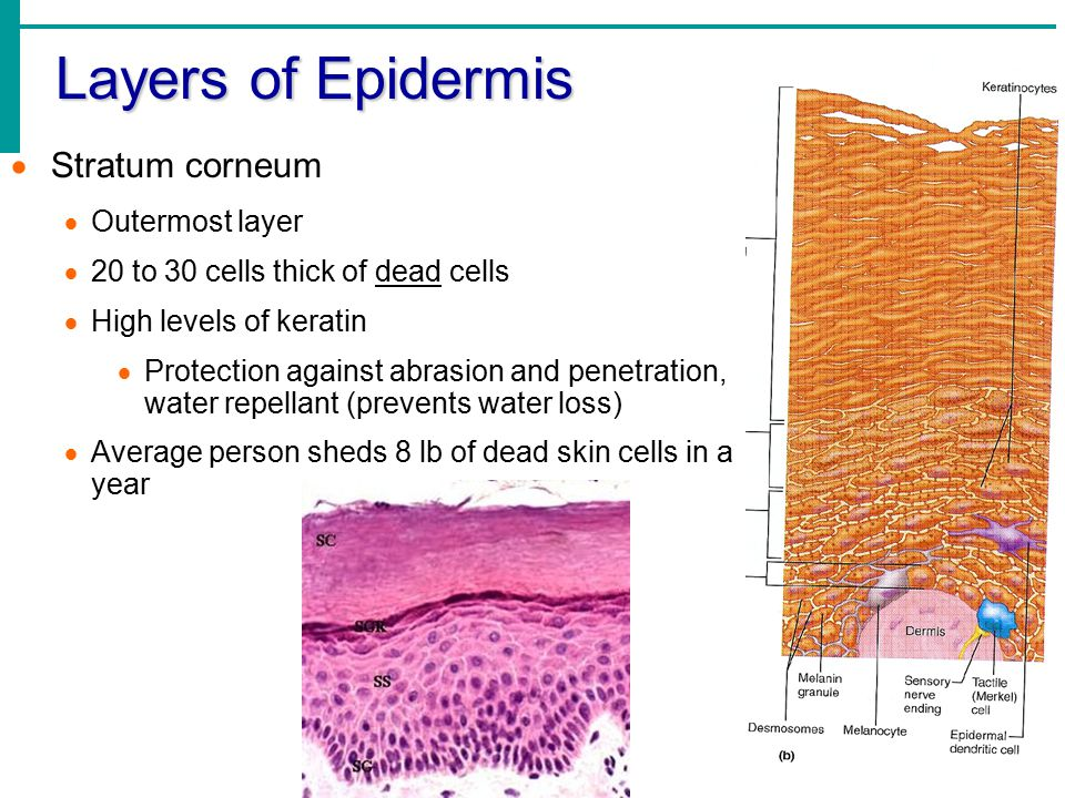 Layers of Epidermis Stratum corneum Outermost layer