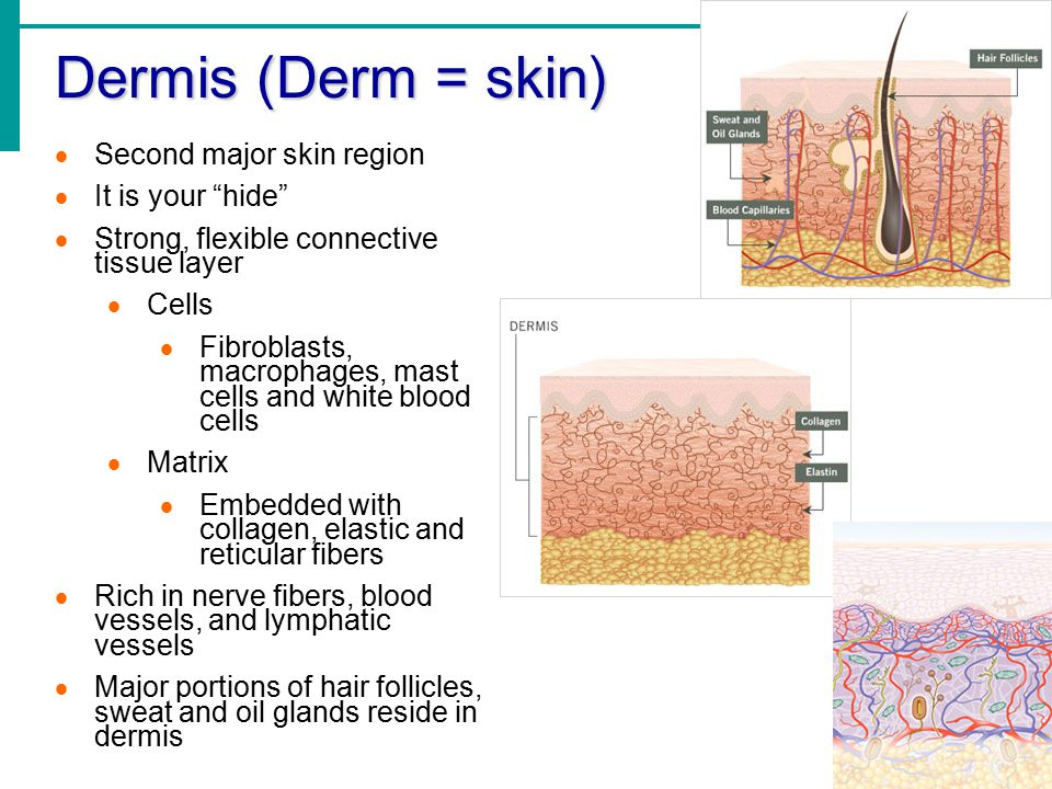 Dermis (Derm = skin) Second major skin region It is your hide