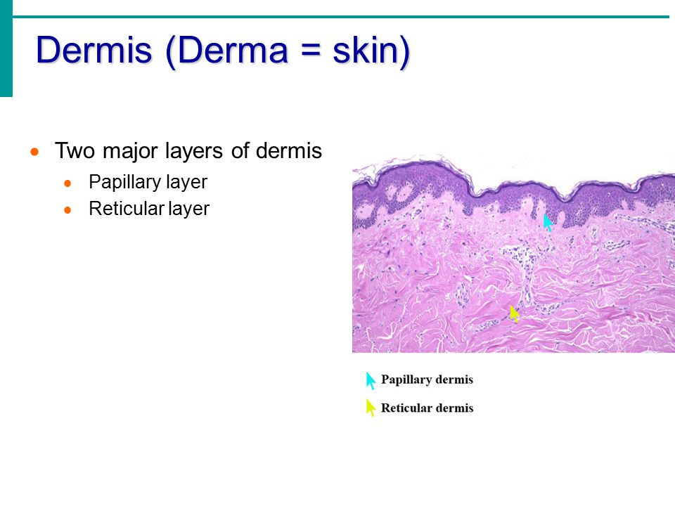 Dermis (Derma = skin) Two major layers of dermis Papillary layer