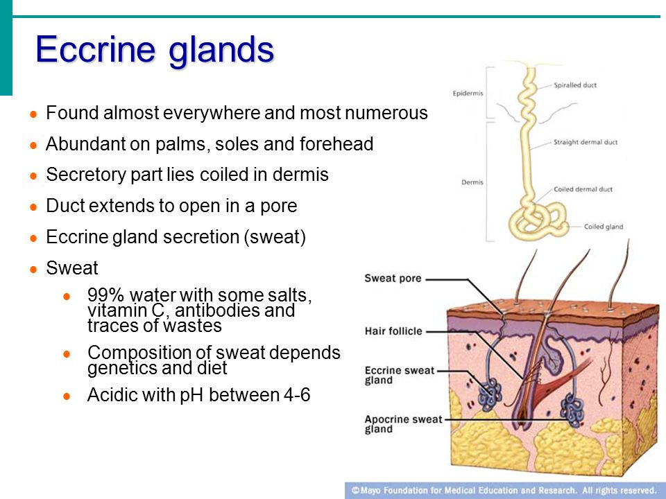 Eccrine glands Found almost everywhere and most numerous
